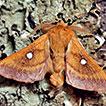 Eriogaster catax (Lepidoptera: Lasiocampidae) ...