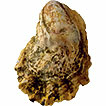 Wild Pacific oyster Magallana gigas (Thunberg, ...