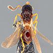 Two genera of platygastroids (Hymenoptera: ...