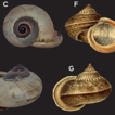 First record of the land operculate snail ...
