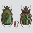 First record of Protaetia (Netocia) subpilosa ...