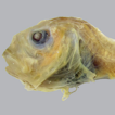 A revision of the abandoned snailfish ...