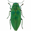 First record of Kisanthobia ariasi (Coleoptera: ...