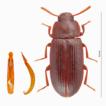 Cynaeus angustus (Coleoptera: Tenebrionidae), ...