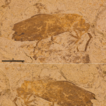 First finding of a fossilized Cantharidae ...